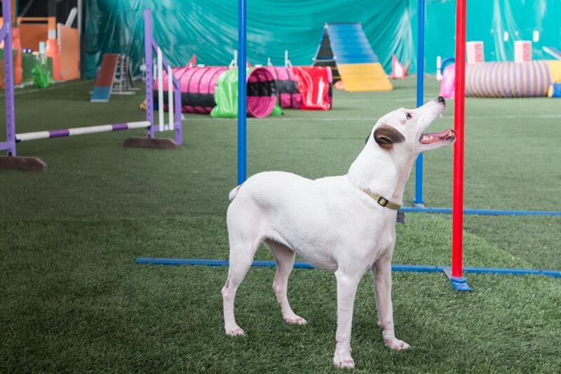 Singapore Indoor Dog Agility Arena Challenge Your Furry Pal To